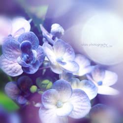 hydrangea.. by alais-photography