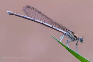 Platycnemis pennipes by Mantide