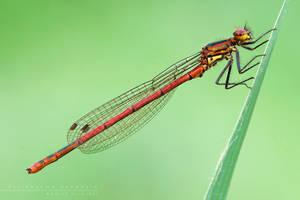 Pyrrhosoma nynphula by Mantide