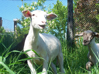 Funny Sheeps by Skimpel