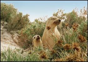 Australian Sea Lions by pinkal09