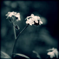Forget-Me-Not by McKenzie-James