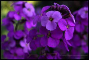 Purple by Hitomii
