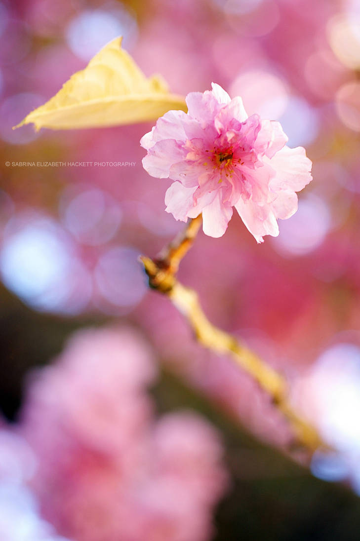 Blossom and Bokeh by Hitomii