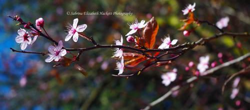 Cherry Blossom Branch by Hitomii