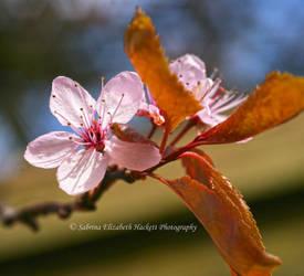 Beautiful Beautiful Blossom by Hitomii