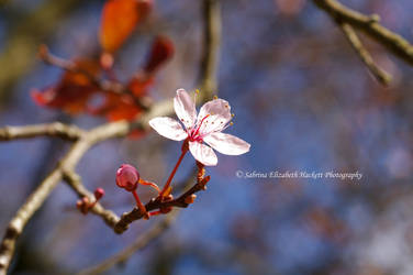 Beautiful Branch Blossom by Hitomii