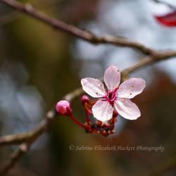 Cherry Blossom Single by Hitomii