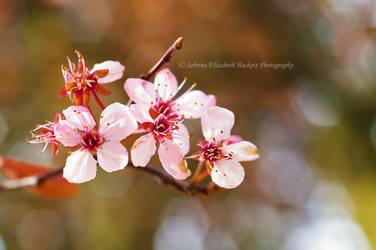 Pink Diminishing by Hitomii