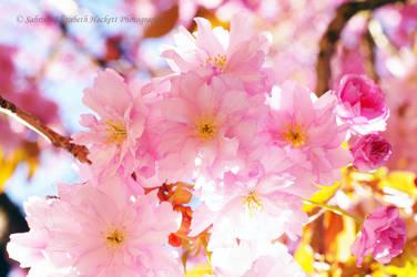 Kanzan Blossom Tree Branch by Hitomii