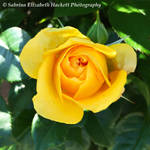 Perfect Yellow Rose by Hitomii