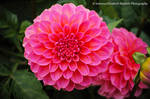 Pink Dahlia by Hitomii