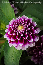 Purple Dahlia by Hitomii