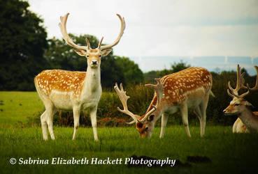 Deer Image Three by Hitomii