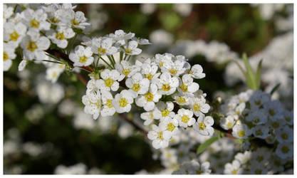 Spring Flower V by Hitomii