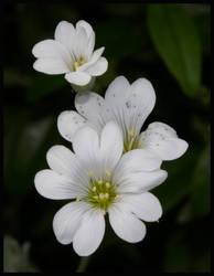 Angel Flower by Hitomii