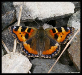 Butterfly On Stone by Hitomii