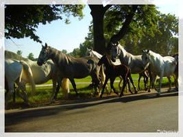 Horses Kladrubsky by michaela66
