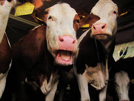 Cows by michaela66
