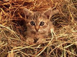 Kitten by michaela66