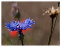 Cornflower by Zyklotrop