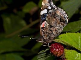 blackberry Admiral by Zyklotrop