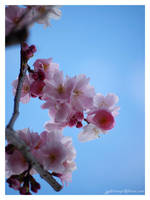 cherry blossom by Zyklotrop