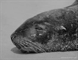 Hooker's Sea Lion by Zyklotrop
