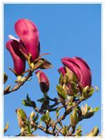 crimson magnolia by Zyklotrop