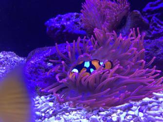Clownfish by EMS-ran-away