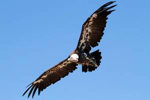 Griffon Vulture flying over by RVeldhuyzen