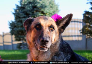 Free Stock Autumn Dog German Shepherd Flowers 2 by PeterKmiecik