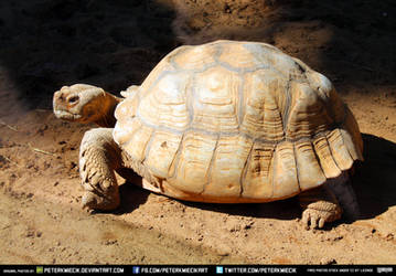 Free Stock Turtle Animal Tortoise Reptile Shell by PeterKmiecik