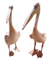 Two Pelicans Stock by TheGreenRabbit