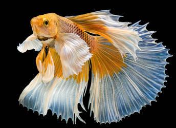 betta fish 8 by bouzid27