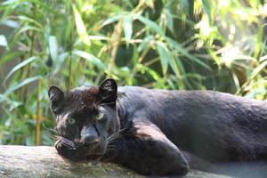 Panther by WhiteSpiritWolf