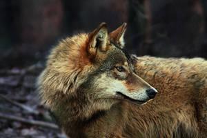 Gray Wolf 6231 by WhiteSpiritWolf