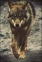 Gray Wolf 8370 by WhiteSpiritWolf
