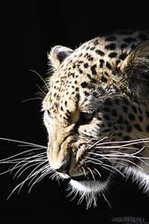 .: North Persian Leopard :. by WhiteSpiritWolf
