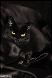 .:Black Tarn Cat:. by WhiteSpiritWolf