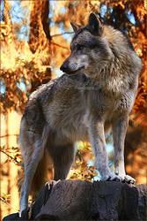 .:Autumn Wolf:. by WhiteSpiritWolf