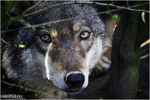 :Hidden Wolf: by WhiteSpiritWolf