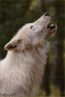 .::Searching for You::. by WhiteSpiritWolf