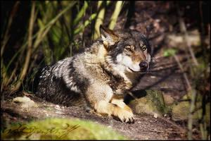 .:Hidden Wolf:. by WhiteSpiritWolf