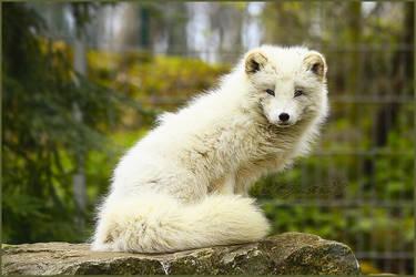 .: White Fluffy :. by WhiteSpiritWolf