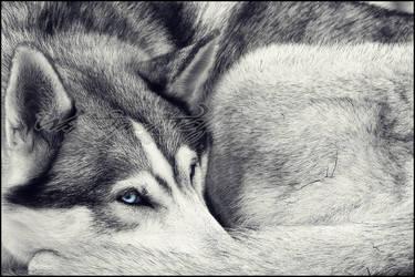 :.Blue Eyes.: by WhiteSpiritWolf