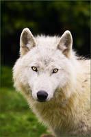 .: Bright Eyes :. by WhiteSpiritWolf