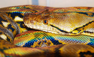 Retic Synder by mant01
