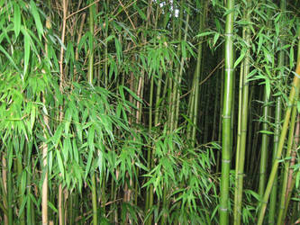Bamboo by totoro7-11