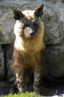 Brown Hyena 8 by RHCP-Cream